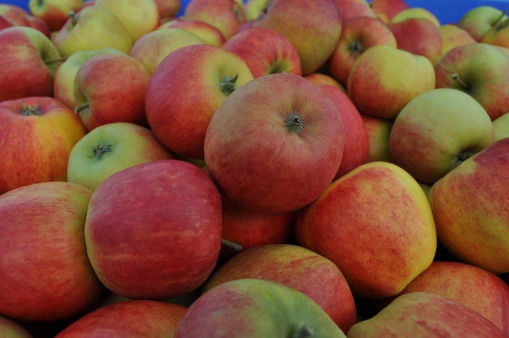 'Rubinstep'  er den nye stoltheiten frå Telemark med flotte, faste og velsmakande eple.